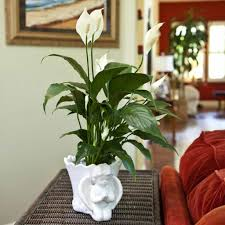 plants that don t need sunlight to grow living room with with peace lily indoor plant stunning indoor