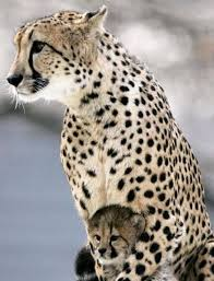 affectionate cheetahs wallpapers 505 best cheetahs images on pinterest big cats wild animals and