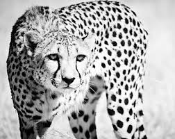 Cheetah Home Decor Wildlife Photography Cheetah Art Black And White Art