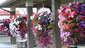 Best Plants For Hanging Baskets by Hanging Basket Tips Askmax Countrymax Com