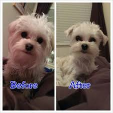 haircut for morkies teacup morkie puppy sweet baby how cute is this little guy a