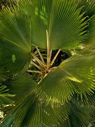 fan palm care indoors u2013 tips for growing fan palm palms