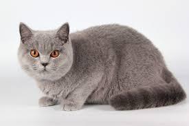 british shorthair cats kittens sale london pets4homes
