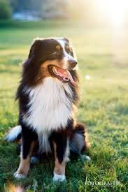 rocking m australian shepherds australian shepherd smart working dog australian shepherd