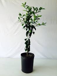 3 4 foot owari satsuma orange tree in 3 5 gallon pot