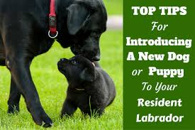 introducing a new pet puppy or dog to your labrador