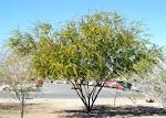 Image result for Acacia farnesiana