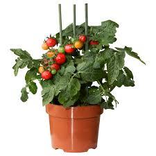 lycopersicon esculentum tomato roślina doniczkowa ikea design