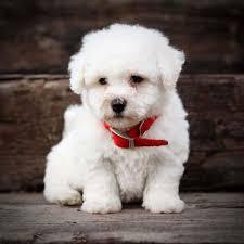bichon frise cute bichon frise cute dog