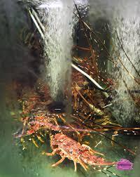 lobster porridge at orchid live seafood restaurant in ulu