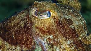 Color Blind Camouflage Test How U0027colorblind U0027 Cuttlefish May See In Living Color Science Aaas