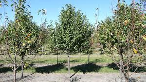 ornamental pear pear trees tree species