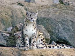 t jag s australian shepherds photos snow leopards are big fluffy endangered kitties
