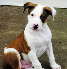 australian shepherd nose saint the pit bull mix love the pink spotty nose and the pink