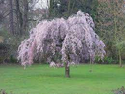 prunus pendular rubra japanese flowering cherry plants chris bowers