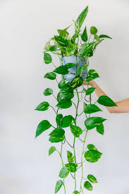 best 25 ivy plants ideas on pinterest indoor ivy ivy plant