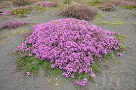 thymus praecox seeds ofthyme creeping thyme thyme seeds