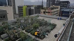 Seeking Hong Kong Harvesting Happiness Rooftop Farming Takes On Hong Kong S