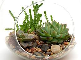 amazon succulents succulent terrarium kit 3 succulents 6