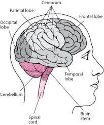 Which Part Of The Brain Consists Of Two Hemispheres Brain Brain Spinal Cord And Nerve Disorders Merck Manuals