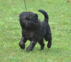 belgian sheepdog traits five universal personality traits of the affenpinscher dog breed