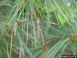 large crane flies family tipulidae