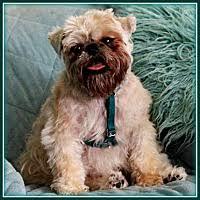 affenpinscher brussels griffon rescue mesa az pet adoption american brussels griffon rescue alliance