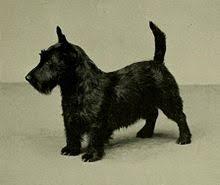scottish yerrier haircuts scottish terrier wikipedia