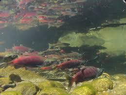California lakes images Kokanee fingerlings released into california lakes and reservoirs jpg