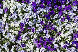image of garden flowers the pansy is a group of large flowered hybrid plants cultivated