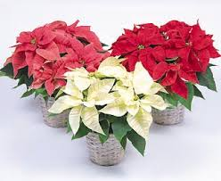 white poinsettia poinsettia flower facts meaning december birth flower