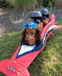 Dachshund Halloween Costumes 22 Funny Dog Costumes Halloween Brit