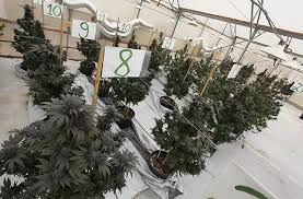 Light Cycle For Weed Nico U0027s Nuggets Using Supplemental Lighting To Veg Plants Outdoors