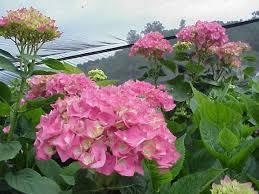 wholesale hydrangeas 50 best hydrangea greenhouse grown images on