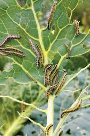 17 best images about garden pests and remedies on pinterest