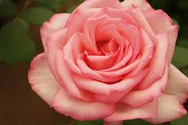Fragrant Rose Plants Growing Scented Roses Life Is A Garden