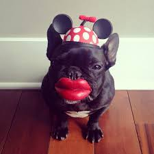 Frenchie Halloween Costume French Bulldog Dress Costume Instagram Trotter Daddy