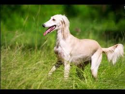afghan hound pictures saluki pictures beautiful saluki pair irani dog photo afghan