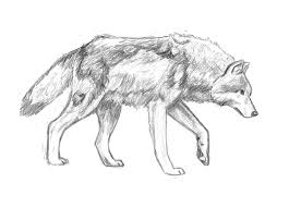 wolf pencil practice by dreamerseeker on deviantart