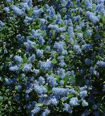 native plants to california different bees for different ceanothus in the bay area