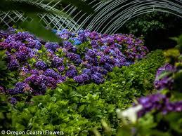 Purple Hydrangea Purple Wedding Hydrangea Oregon Coastal Flowers