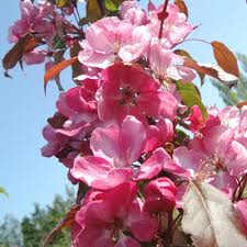 Profusion Flowering Crabapple - malus rudolph buy purple flowering crabapple trees