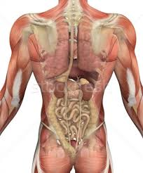 Human Anatomy Torso Diagram Human Body Parts Back View Human Organs Diagram Back View Human