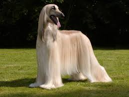 afghan hound times afghan hound breed guide learn about the afghan hound