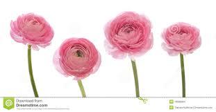 Ranunculus Ranunculus Stock Images Image 18589094