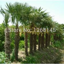 aliexpress buy excellent ornamental trees 20pcs palm tree
