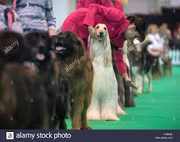 australian shepherd crufts 2015 club of dog breeding stock photos u0026 club of dog breeding stock