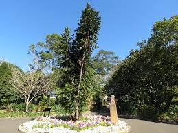 Botanic Garden Sydney Wollemi Pine Picture Of The Royal Botanic Garden Sydney
