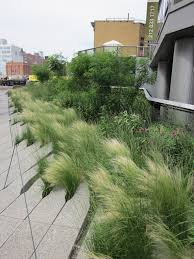 mexican feather grass nassella tenuissima lovely along the