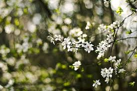 white flowers on tree free photos absolutely for